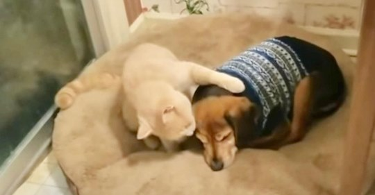 Katze tröstet süß traurigen blinden Hundebruder, um ihn zu zeigen, dass er in Sicherheit ist