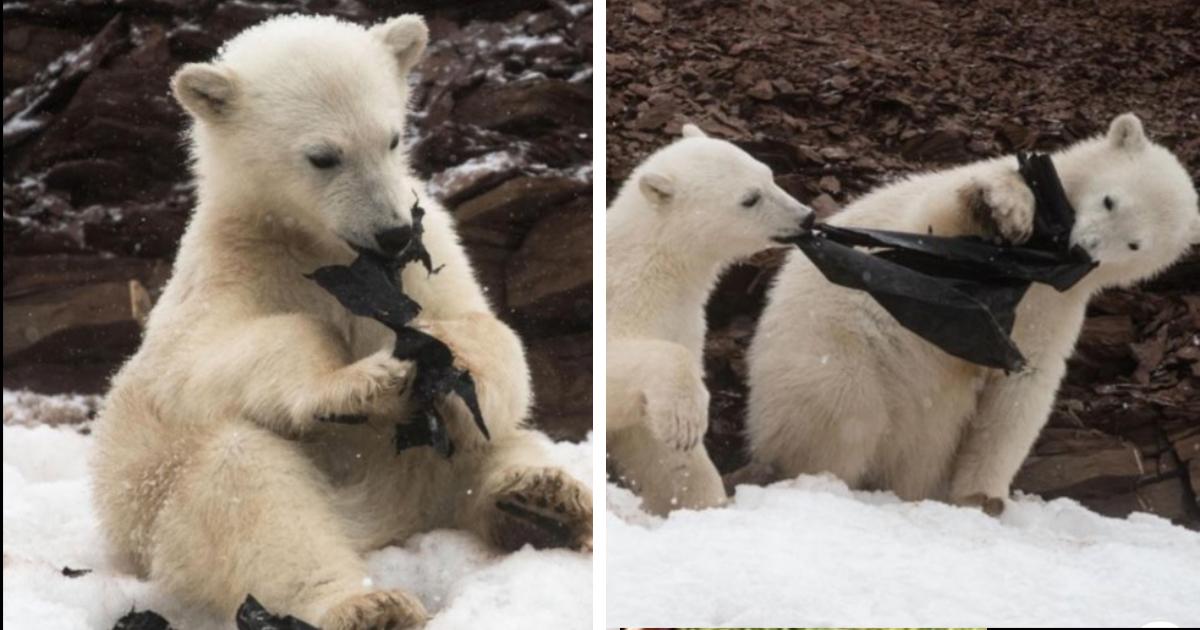 Eisbärenjunges beißt auf Plastik, zwei weitere spielen mit Müll – Umweltverschmutzung nimmt nicht ab