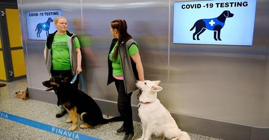 Schnelltests am Airport: Wie Corona Spürhunde infizierte Passagiere erkennen können