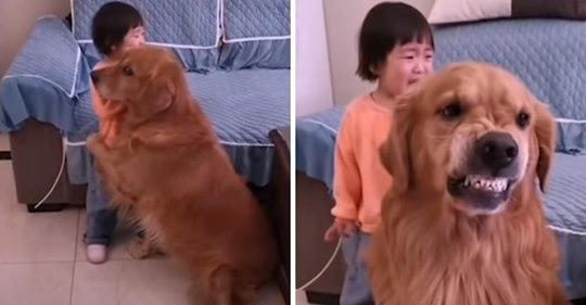 Treuer Golden Retriever beschützt weinendes Mädchen, als es von seiner Mutter ausgeschimpft wird