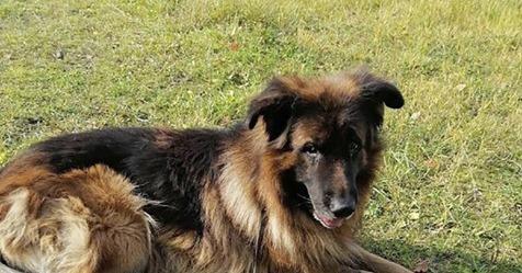 Besitzer vergiften Schäferhund und begraben ihn - doch er kämpft sich aus dem Grab