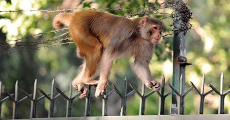 Tobende Affen jagen 13 Jährige in Indien   bei der Flucht stürzt sie in den Tod