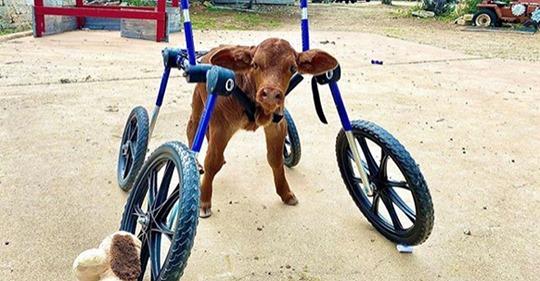 Niedliche Aufnahmen: Kalb mit Behinderung bekommt Spezial-Rollstuhl