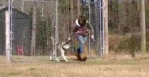 Nachdem er ein Leben lang angekettet war, darf der Husky Biscuit das erste Mal auf einem Feld rennen
