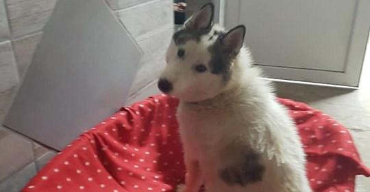 Unbekannte treten trächtiger Hündin in Bauch: Huskydame verliert ihre ungeborenen Welpen