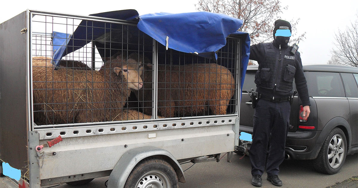 Beine schleiften über Autobahnasphalt: Polizei stoppt qualvollen Tiertransport auf A6
