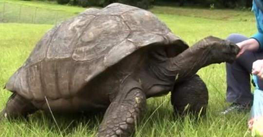 187 Jahre alte Schildkröte Jonathan aus St. Helena ist das älteste Landlebewesen der Welt