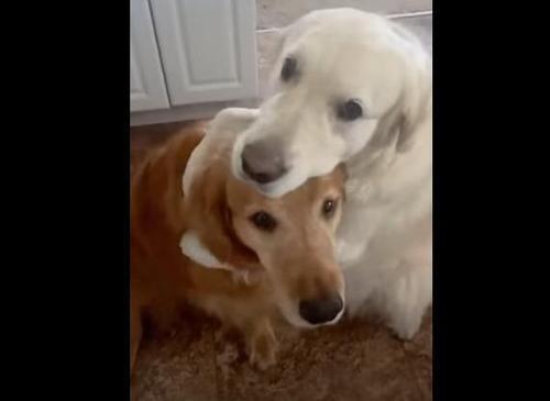 Hund entschuldigt sich bei seinem Frauchen für seine Untat und bringt Millionen Herzen zum Schmelzen
