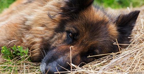 """Schäferhund """"Rex"""" gezielt getötet: Unbekannte Tierquäler werfen Giftköder in Gärten"""