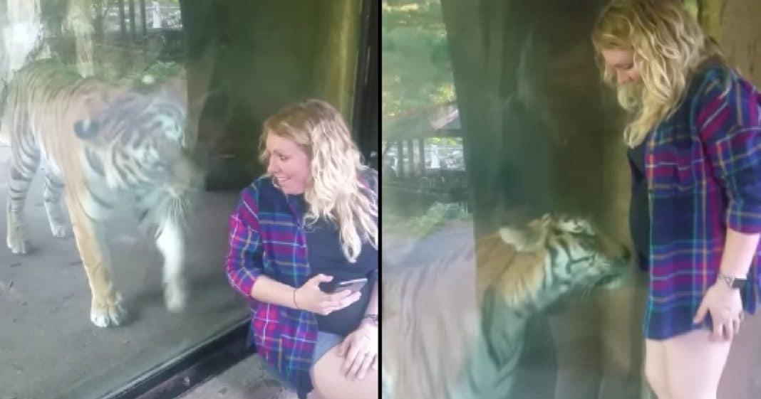 Frau filmt schwangere Freundin, die ein Selfie mit einem Tiger macht, und hält den Moment fest, in dem die Raubkatze ihren Babybauch bemerkt