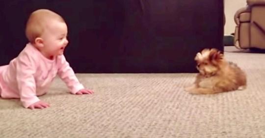 Shorkie-Welpe reagiert verwirrend auf Begegnung mit neugeborener Baby-Schwester - und das beruht auf Gegenseitigkeit