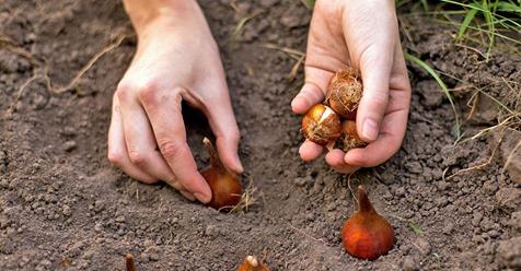 Blumenzwiebeln pflanzen: 15 Profi Tipps für Krokusse, Tulpen & Co.