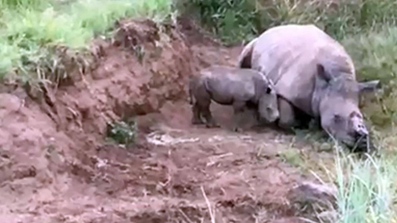 Nashorn Mama bringt überraschend ein Baby zur Welt – fünf Monate nach Tod ihres Partners