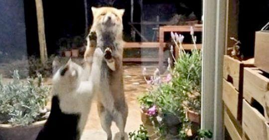 Fuchs und Katze: Eine niedliche Freundschaft, die auch während der Ausgangssperre anhält