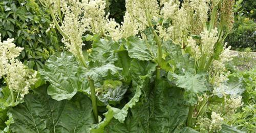 Die Heilpflanze Sibirischer Rhabarber hilft in den Wechseljahren