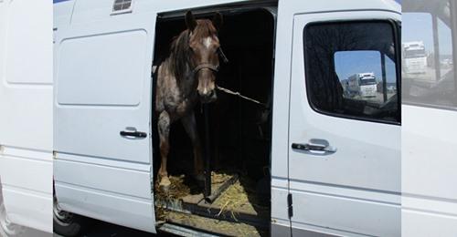 Bayern: Zoll deckt Tierquälerei auf – neun Pferde wurden in zwei Kleintransporter gepfercht