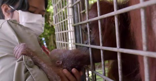 Mutter Orang-Utan erschüttert über entführtes Baby sieht ihr Kind mit einem Retter
