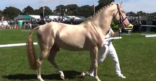 Seltener Achal Tekkiner gilt als  schönstes Pferd der Welt