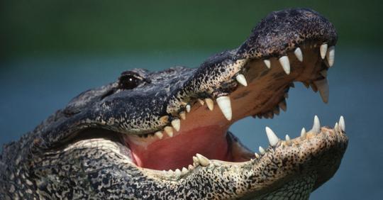 Rätsel um verschwundene Hunde gelöst: 5 Hundemarken in Alligator-Magen gefunden