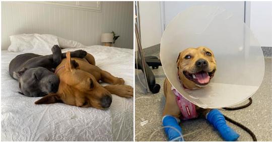 Heldenhafter Hund wird von Giftschlange gebissen, während er seinen kleinen Bruder beschützt