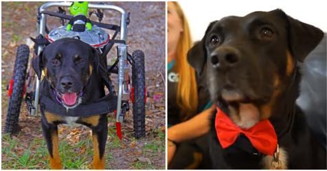 'Er ist ein Wunder' – Hund, von dem man dachte, er sei dauerhaft gelähmt, lernt wieder zu laufen