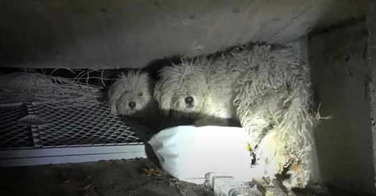 Zwei Pudel leben im Dunkeln in der Kanalisation – sind völlig verängstigt, als Tierschützer sie mit Licht anstrahlen