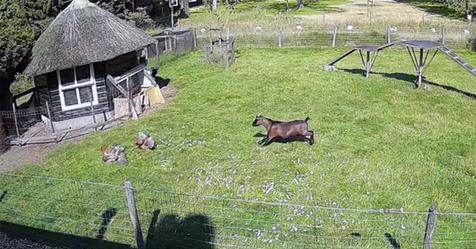 Ziege und Hahn retten gemeinsam Hühner vor Falkenangriff