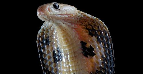 Kobra als Mordwaffe: Inder tötet seine Frau mit einem Schlangen-Biss