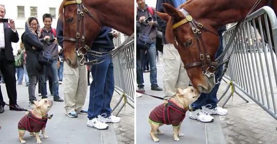 Tapferer kleiner Hund geht auf Polizeipferd zu – Begegnung verbreitet sich in den sozialen Medien