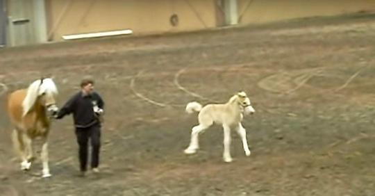 Ein kleines Fohlen dreht im Ring durch und stiehlt das Rampenlicht auf einer Pferdeshow